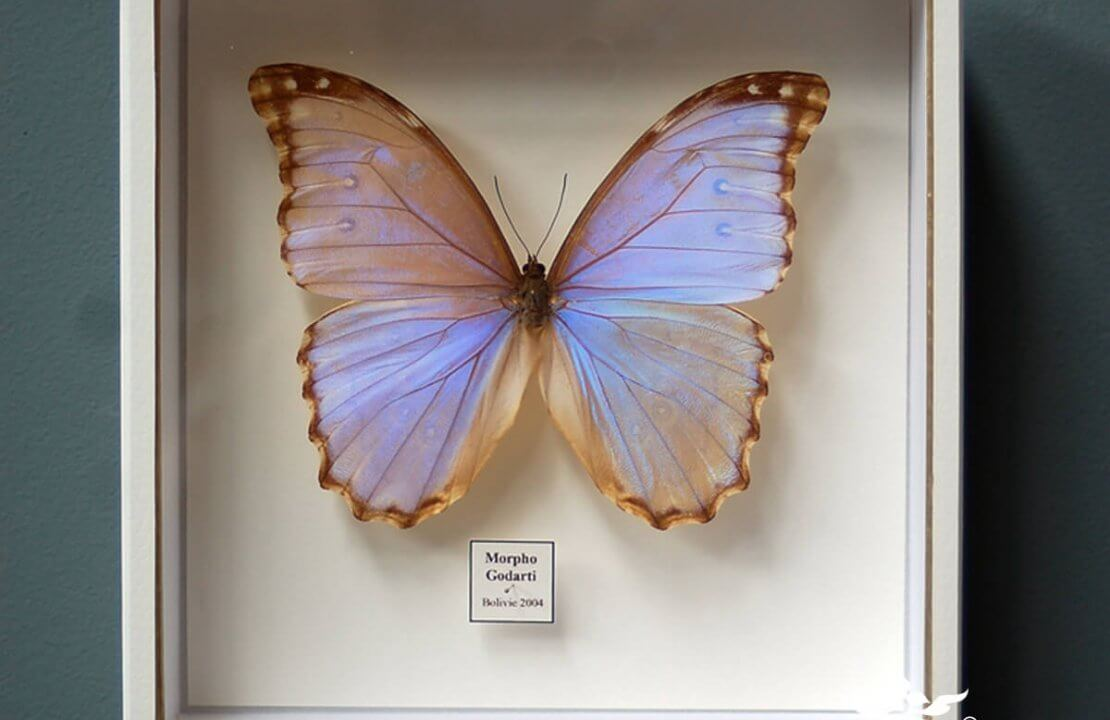 How to create a butterfly display case