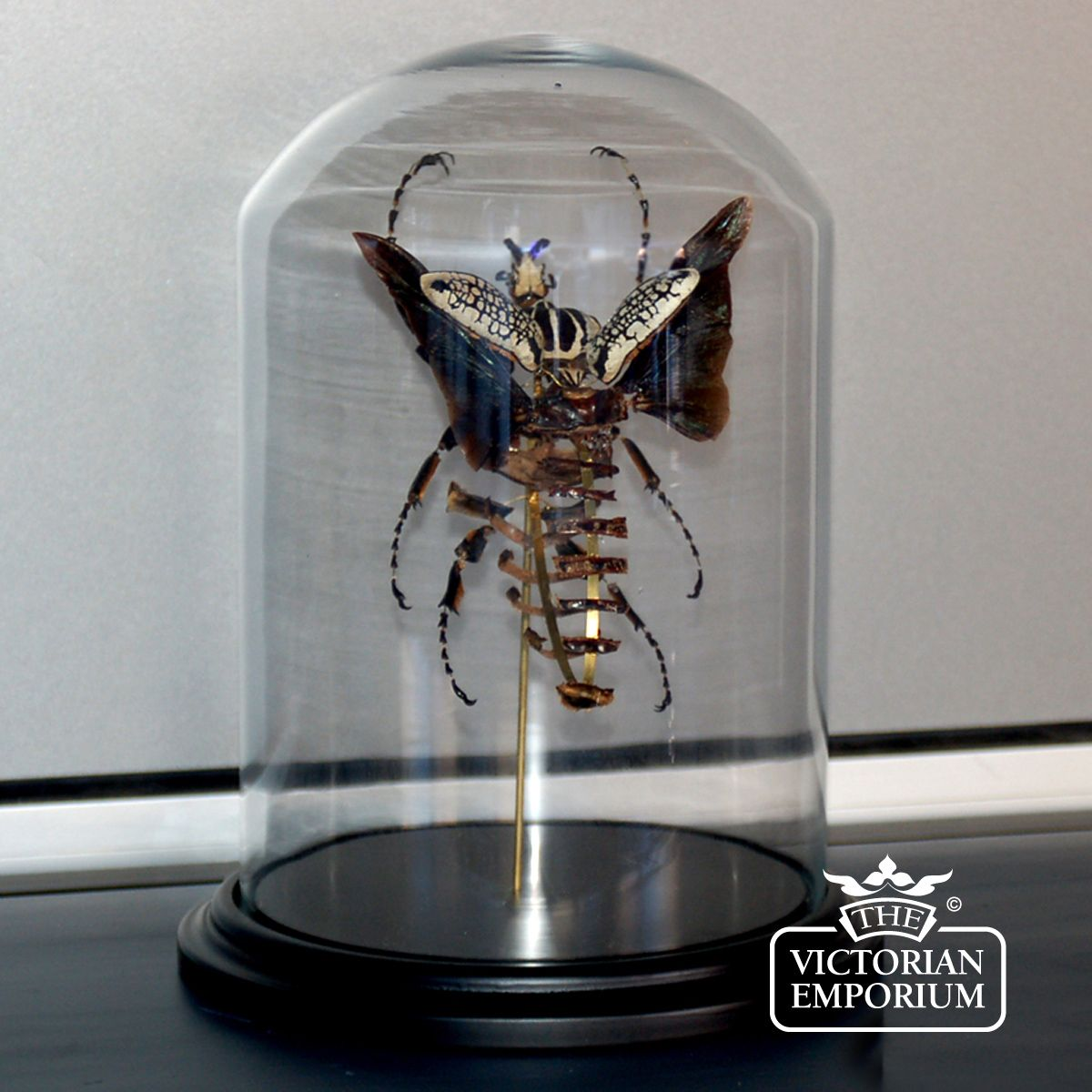 Decorative Display Cases Split Goliathus Under Glass Dome Natural Curiosities