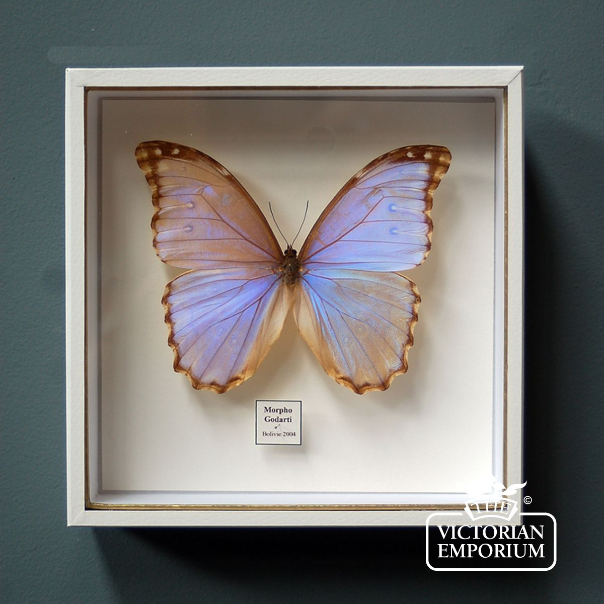 Iridescent_butterfly_in_display_case on Home Decor Store