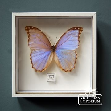 Iridescent Butterfly in display case