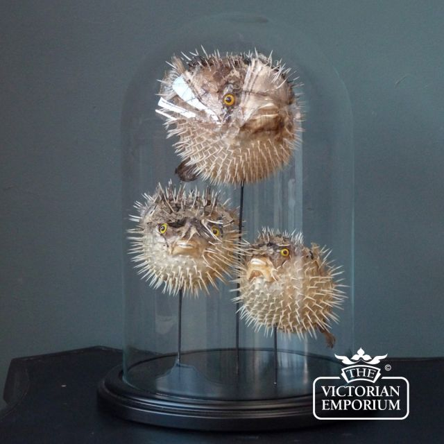 Three puffafish in display case