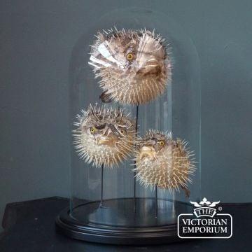 Three puffafish in display case